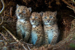 European lynx (Lynx lynx) kittens in den, after being tagged by the biologists from KORA, Simmental Valley, Switzerland, June. - Laurent Geslin