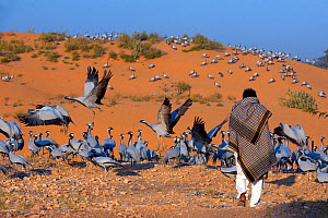 Demoiselle Crane (Grus virgo or Anthropoides virgo) at wintering site, disturbed by villager, Rajasthan, India, February 2012.  -  Axel  Gomille