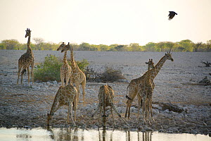 Angolan giraffes (Giraffa camelopardalis angolensis ) drinking at waterhole, during the dry season, Okaukuejo, Etosha National Park, Namibia, Africa  -  Eric Baccega