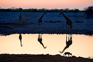 Angolan giraffes (Giraffa camelopardalis angolensis) and Black backed jackal (Canis mesomelas) reflecting in waterhole at sunset, Okaukuejo, Etosha National Park, Namibia, Africa  -  Eric Baccega