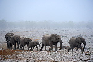 African elephant (Loxodonta africana) herd with calves, walking in procession to a waterhole in sand  storm, Etosha National Park, Namibia, Africa  -  Eric Baccega