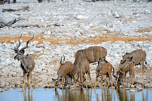 Greater kudu  (Tragelaphus strepsiceros) male and females drinking at waterhole during dry season, Etosha National Park, Namibia, Africa - Eric Baccega