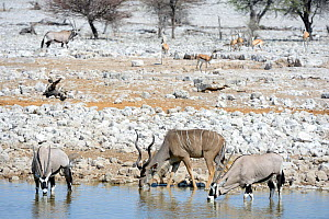 Male Greater kudu (Tragelaphus strepsiceros) and gemsbok (Oryx gazella) drinking at waterhole during the dry season, Etosha National Park, Namibia, Africa - Eric Baccega