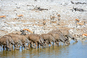 Greater kudu herd (Tragelaphus strepsiceros) and Springbok herd drinking at waterhole (Antidorcas marsupialis) during dry season, Etosha National Park, Namibia, Africa - Eric Baccega