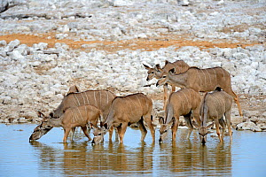 Greater kudu (Tragelaphus strepsiceros) females drinking at waterhole during dry season, Etosha National Park, Namibia, Africa - Eric Baccega