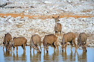 Greater kudu females (Tragelaphus strepsiceros) drinking at waterhole during dry season, Etosha National Park, Namibia, Africa - Eric Baccega