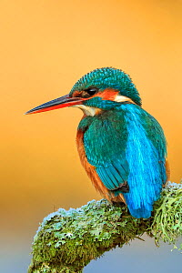Kingfisher (Alcedo atthis) on perch, UK, January. - Andy  Rouse