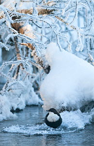 European Dipper (Cinclus cinclus) on ice next to stream,  winter, Finland. February. - Jussi  Murtosaari