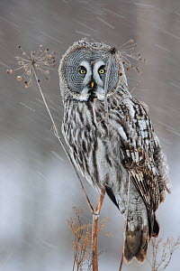 Great grey owl (Strix nebulosa) perched on dead umbellifer plant,  winter, Finland, February.  -  Sven  Zacek