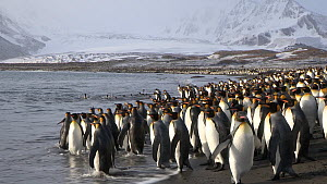 King penguins (Aptenodytes patagonicus) walking towards and entering the sea near their breeding colony, Salisbury Plain, South Georgia.  -  Peter Bassett