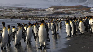 King penguins (Aptenodytes patagonicus) walking towards and entering the sea whilst others are washed ashore, near their breeding colony, Salisbury Plain, South Georgia.  -  Peter Bassett