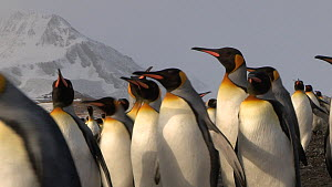 King penguins (Aptenodytes patagonicus) in a breeding colony, with mountains in the background, Salisbury Plain, South Georgia. - Peter Bassett
