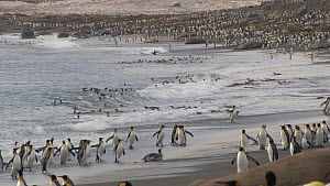 King penguins (Aptenodytes patagonicus) entering and leaving the sea near their breeding colony, Salisbury Plain, South Georgia.  -  Peter Bassett