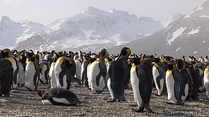 King penguins (Aptenodytes patagonicus) preening in breeding colony, with mountains in the background, Salisbury Plain, South Georgia. - Peter Bassett