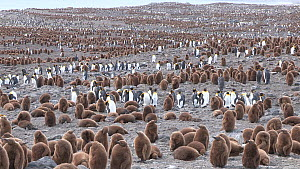 Panning shot of a King penguin (Aptenodytes patagonicus) breeding colony, Salisbury Plain, South Georgia. - Peter Bassett