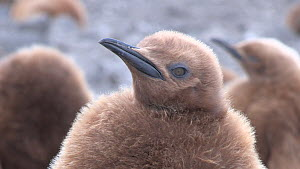 Close up of a King penguin (Aptenodytes patagonicus) chick in a creche, Salisbury Plain, South Georgia.  -  Peter Bassett