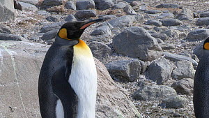 King penguin (Aptenodytes patagonicus) standing on its heels on a rock to keep its feet warm, Salisbury Plain, South Georgia.  -  Peter Bassett