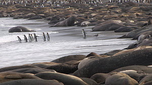 Group of King penguins (Aptenodytes patagonicus) entering the sea with a large number of Southern elephant seals (Mirounga leonina) hauled out on the shore, Gold Harbour, South Georgia. - Peter Bassett