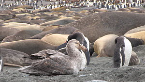 Southern giant petrel (Macronectes giganteus) preening on a beach, with Gentoo penguins (Pygoscelis papua) and Southern elephant seals (Mirounga leonina) in the background, Gold Harbour, South Georgia...  -  Peter Bassett
