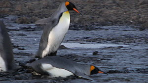 King penguins (Aptenodytes patagonicus) wading through mud and falling over, Prion Island, South Georgia.  -  Peter Bassett