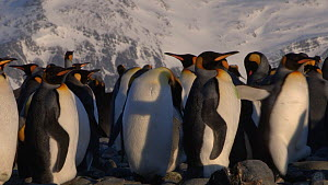 King penguins (Aptenodytes patagonicus) preening in a breeding colony, Prion Island, South Georgia.  -  Peter Bassett