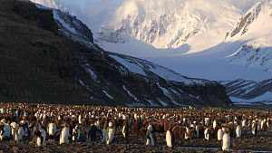 View of a King penguin (Aptenodytes patagonicus) colony with mountains in the background, Prion Island, South Georgia.  -  Peter Bassett