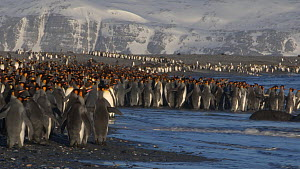 Panning shot of a group of King penguins (Aptenodytes patagonicus) entering the sea from their colony on a beach, Prion Island, South Georgia.  -  Peter Bassett