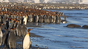 King penguin (Aptenodytes patagonicus) colony on a beach, Prion Island, South Georgia.  -  Peter Bassett