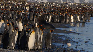 Wide shot of an Antarctic fur seal (Arctocephalus gazella) in a King penguin (Aptenodytes patagonicus) colony, Prion Island, South Georgia.  -  Peter Bassett