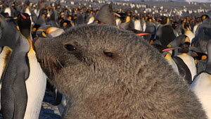 Antarctic fur seal (Arctocephalus gazella) resting on a beach with King penguins (Aptenodytes patagonicus) in the background, Prion Island, South Georgia.  -  Peter Bassett