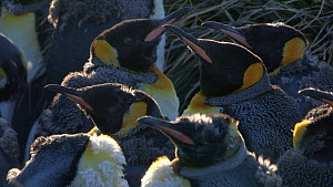 Close up of a group of moulting King penguins (Aptenodytes patagonicus) in a colony, Prion Island, South Georgia.  -  Peter Bassett