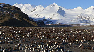 Panning shot of a King penguin (Aptenodytes patagonicus) colony with mountains in the background, Prion Island, South Georgia.  -  Peter Bassett