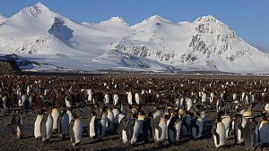 Wide angle shot of a King penguin (Aptenodytes patagonicus) colony with mountains in the background, Prion Island, South Georgia.  -  Peter Bassett