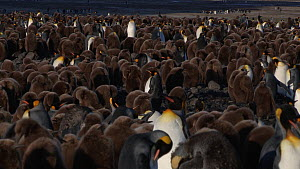 Tracking shot of a King penguin (Aptenodytes patagonicus) walking through a colony, Prion Island, South Georgia.  -  Peter Bassett