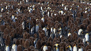 Wide angle shot of a King penguin (Aptenodytes patagonicus) colony, Prion Island, South Georgia.  -  Peter Bassett