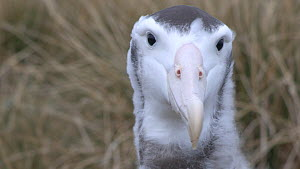 Close up portrait of a Wandering albatross (Diomedea exulans) chick, Prion Island, South Georgia, November.  -  Peter Bassett