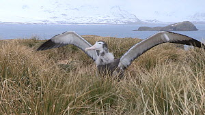 Wandering albatross (Diomedea exulans) chick stretching its wings, Prion Island, South Georgia.  -  Peter Bassett