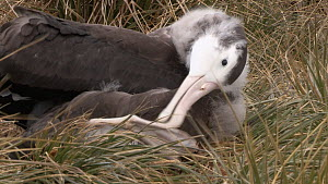 Wandering albatross (Diomedea exulans) chick preening, Prion Island, South Georgia.  -  Peter Bassett