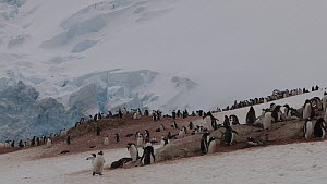 Tilt shot down from snow covered mountains to a Gentoo penguin (Pygoscelis papua) breeding colony, Neko Harbour, Andvord Bay, Graham Land, Antarctica.  -  Peter Bassett