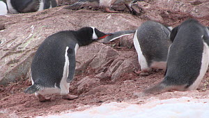 Gentoo penguins (Pygoscelis papua) squabbling in breeding colony, Neko Harbour, Andvord Bay, Graham Land, Antarctica.  -  Peter Bassett