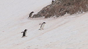 Gentoo penguins (Pygoscelis papua) walking up a slope to their breeding colony, Neko Harbour, Andvord Bay, Graham Land, Antarctica.  -  Peter Bassett