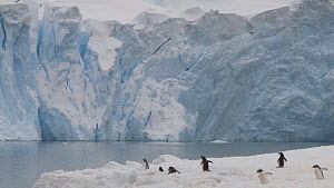 Gentoo penguins (Pygoscelis papua) walking close to the edge of an ice shelf with a glacier in the background, Neko Harbour, Andvord Bay, Graham Land, Antarctica.  -  Peter Bassett