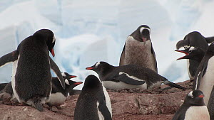 Gentoo penguin (Pygoscelis papua) squabbling with neighbouring penguins at nest site in a breeding colony, Neko Harbour, Andvord Bay, Graham Land, Antarctica.  -  Peter Bassett