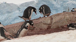 Male Gentoo penguin (Pygoscelis papua) chasing a rival and offering a stone to a nearby female, Neko Harbour, Andvord Bay, Graham Land, Antarctica.  -  Peter Bassett