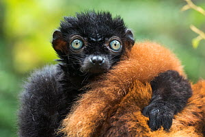 Blue-eyed / Sclater's black lemur (Eulemur flavifrons) male with arm on female's back, captive, endemic to Madagascar., Critically Endangered.  -  Edwin  Giesbers