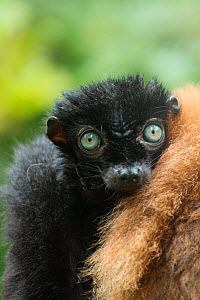 Blue-eyed / Sclater's black lemur (Eulemur flavifrons) male sitting next to female, captive, endemic to Madagascar., Critically Endangered. - Edwin  Giesbers