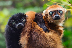 Blue-eyed / Sclater's black lemur (Eulemur flavifrons) male and female (on right) captive, endemic to Madagascar., Critically Endangered.  -  Edwin  Giesbers