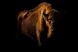 European bison (Bison bonasus) standing in shadow, Zuid-Kennemerland National Park,  the Netherlands. January. Reintroduced species.  -  Edwin  Giesbers
