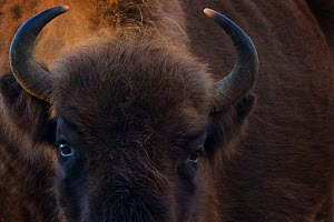 European bison (Bison bonasus) close up portrait showing horns, Zuid-Kennemerland National Park,  the Netherlands. January. Reintroduced species.  -  Edwin  Giesbers