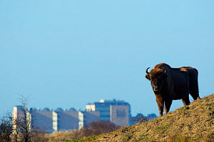 European bison (Bison bonasus) with town in the background, Zuid-Kennemerland National Park,  the Netherlands. January. Reintroduced species.  -  Edwin  Giesbers